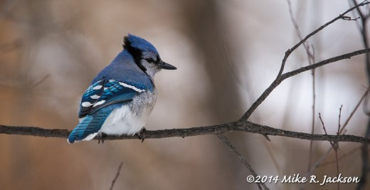 Web Blue Jay Feb4