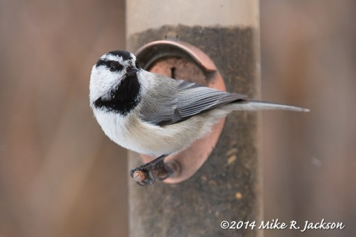 Web Mtn Chickadee Feeder Feb11