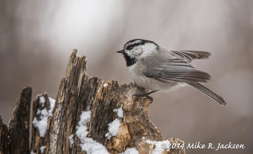 Web Mountain Chickadee Feb5
