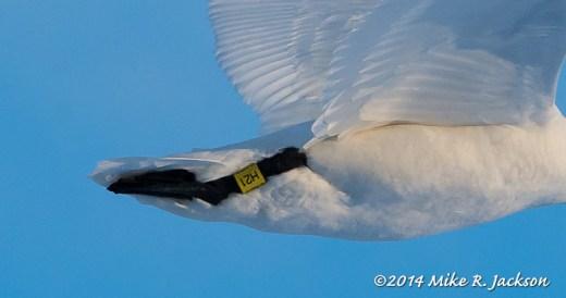 Web Swan H21 Feb10