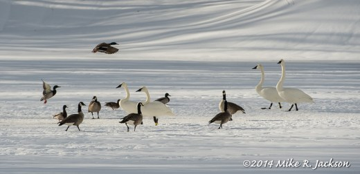 Web Waterfowl On Ice Feb24