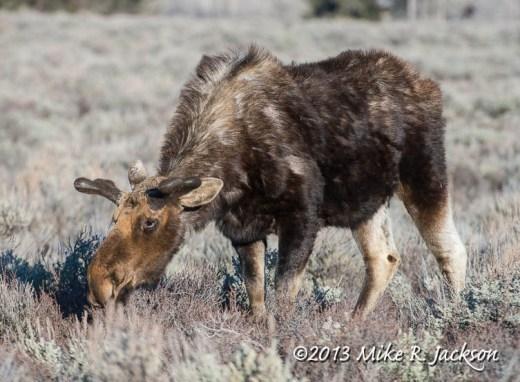 Moose Velvet April 18