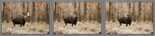 Culling Moose