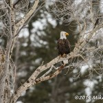 Web Canyon Bald Eagle Mar8