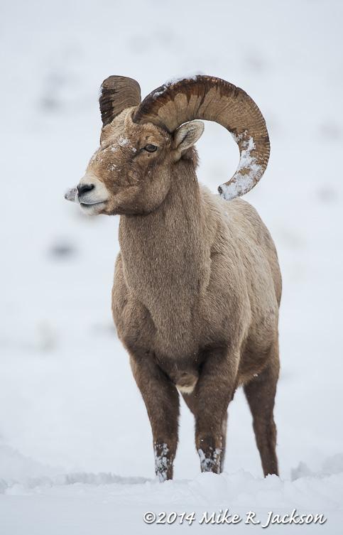 Web Bighorn Ram Watching Mar1