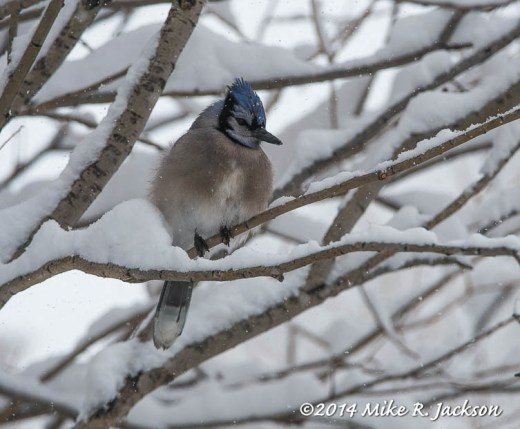 Web Blue Jay In Snow Mar1