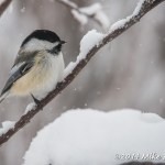Web Chickadee On Branch Mar1