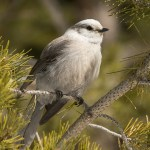 Web Gray Jay Mar23
