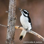 Web Hairy Woodpecker Mar2