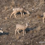 Web Mule Deer Mar11