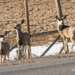 Web Mule Deer Mar21