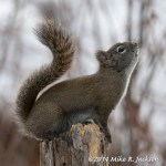 Web Red Squirrel Mar2