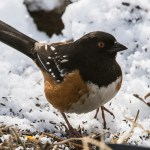 Web Spotted Towhee Mar19