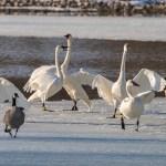 Web Swans Mar25