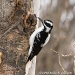 Web Hairy Woodpecker April6