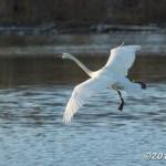 Web Swan Boyles Hill Apr10