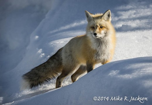 RedFoxSnowBank_Mar24