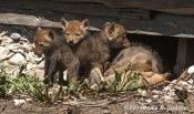 Web_CoyotePups_May25