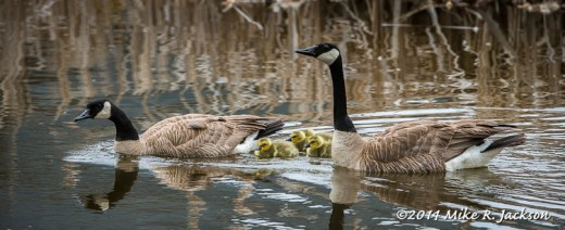 Web_GeeseGoslings_May16