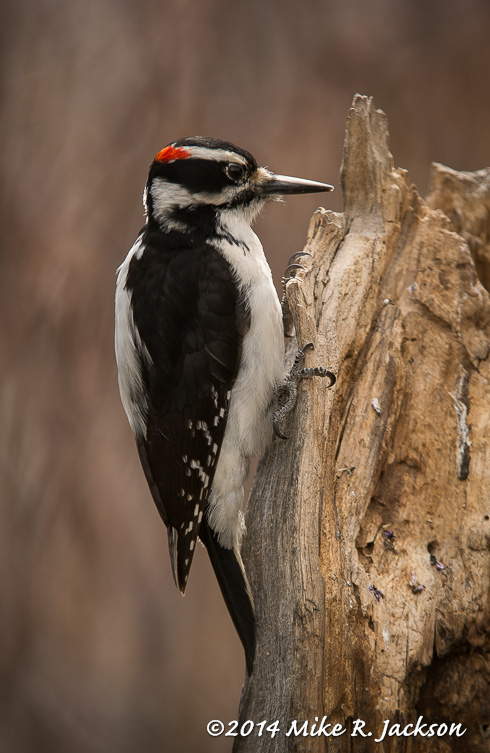 Web Hairy Woodpecker May6