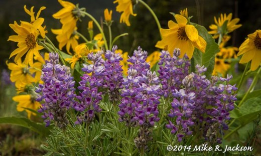 Web_Lupines_June1