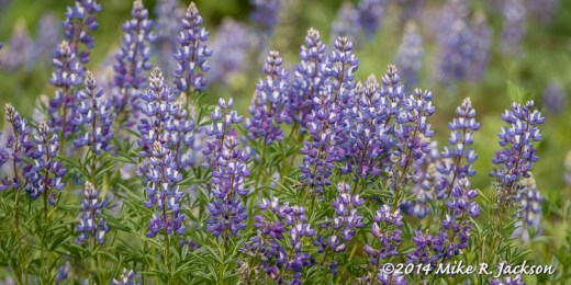 Web_Lupines_June19