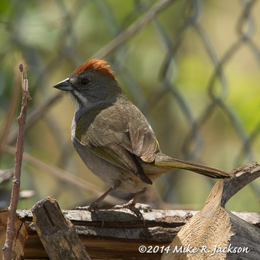 Web_Green-tailed_Towhee_May21