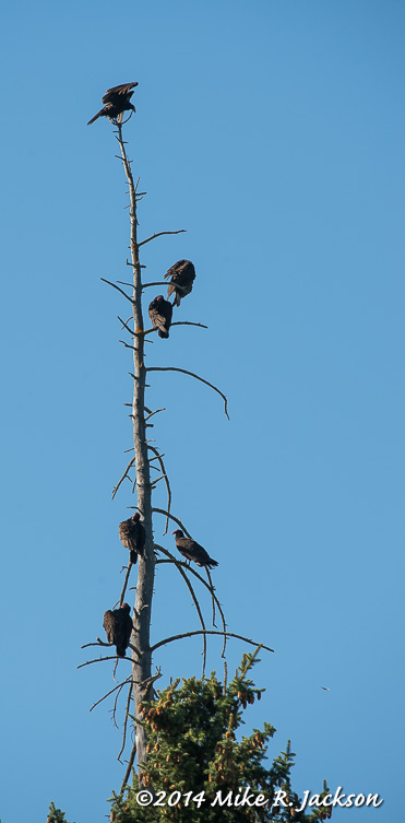 Web_TurkeyVultures_May28