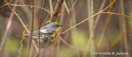 Web_YellowrumpedWarbler_May18