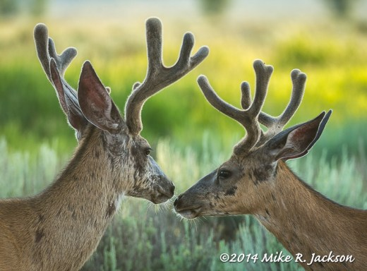 Web_MuleDeerFaces_July15