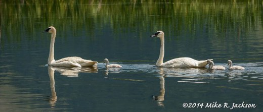 Cruising Swans - July 12