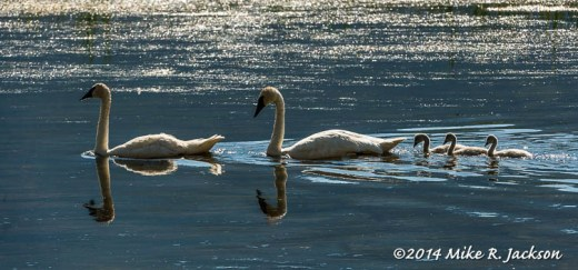 Swans in Single File - July 23