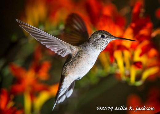Afternoon Hummingbird