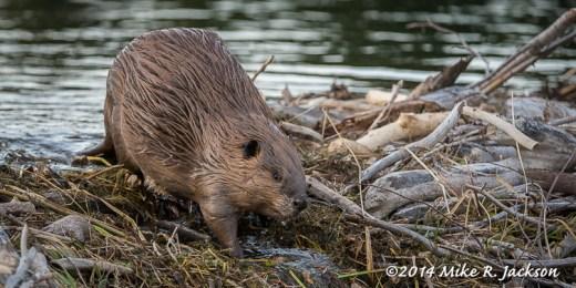 Beaver on the Dam