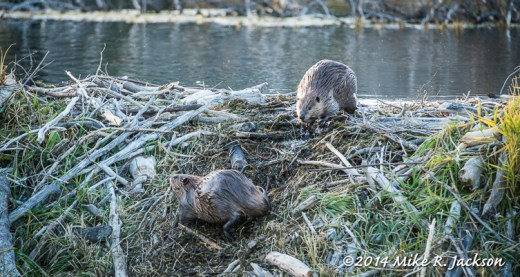 Beaver on their Dam