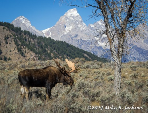 Bull with a Grand Backdrop
