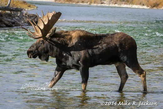 Bull Moose Crossing the Gros Ventre