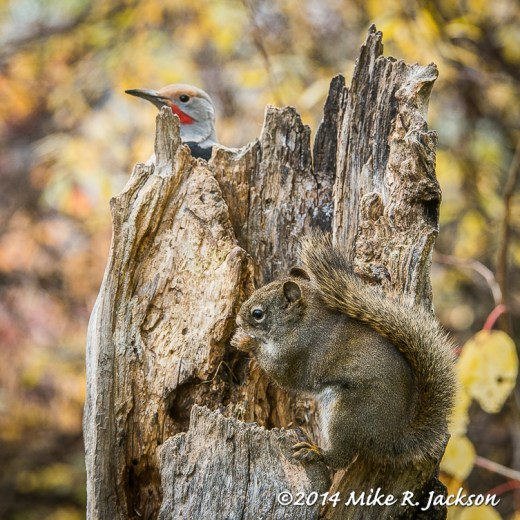 Northern Flicker and Red Squirrel