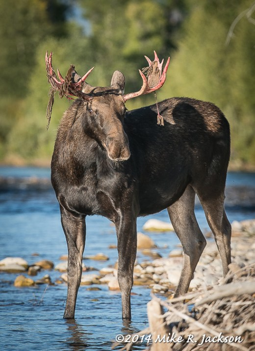 Moose Youngster