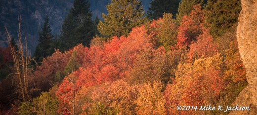First Light on a Stand of Mountain Maples
