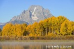 Aspen Stand at Oxbow Bend