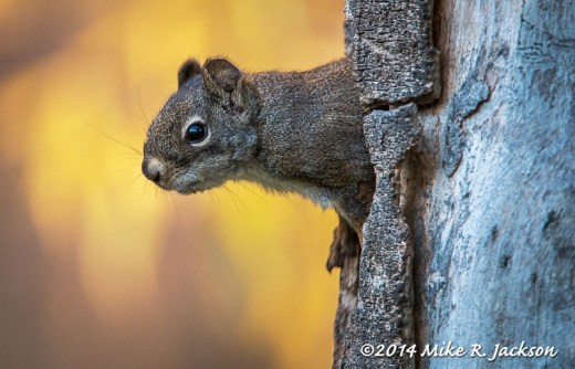 Red Squirrel in a Tree Trunk