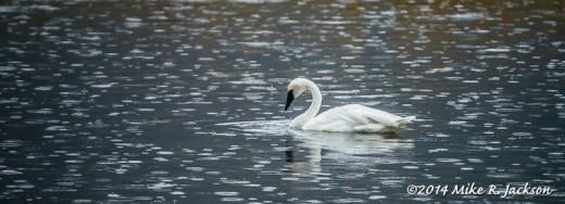 Single Swan with Rain Drops