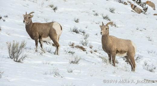 Bighorns at Miller Butte