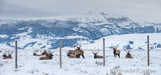Elk on the Refuge