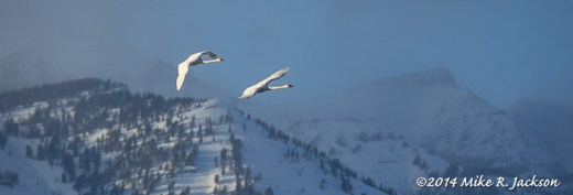 Returning Trumpeter Swans