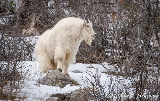 Mtn Goat on a Rock