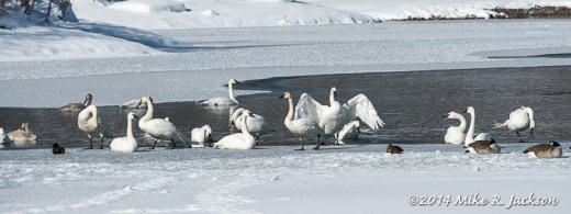 Boyles Hill Swans
