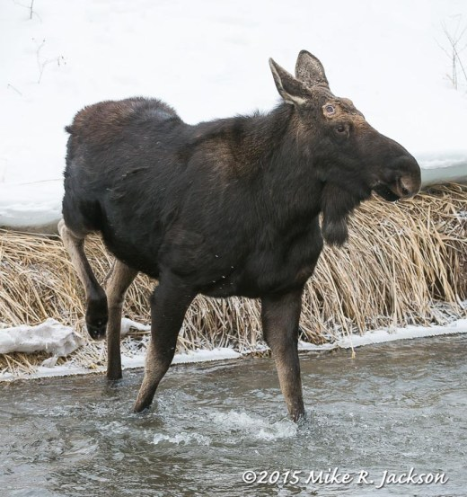 Bull Moose Entering Flat Creek