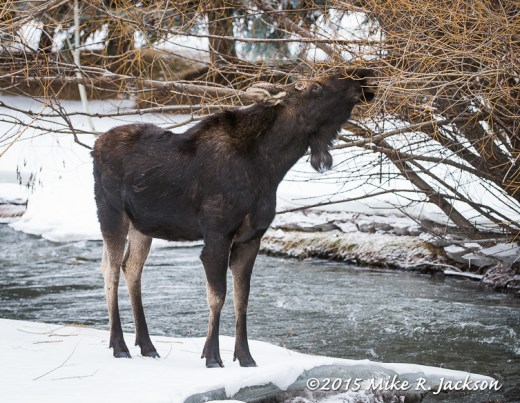 Bull Moose on Flat Creek